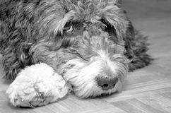 Aussiedoodle bonito Imagem de Stock Royalty Free