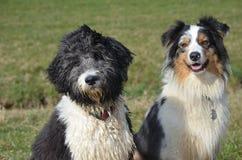 Aussiedoodle en Australische Herder stock foto's