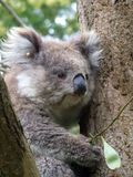 austalia Victoria koali young Obrazy Royalty Free