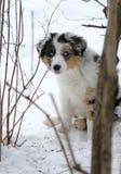 Austalian牧羊犬小狗 库存图片