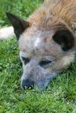 austalian heeler собаки утомляло Стоковое фото RF