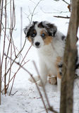 Australian Shepherd dog puppy. Portrait of cute Australian Shepherd dog puppy stood in wintry snow stock image