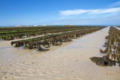 Auster, die auf Jersey, Großbritannien bewirtschaftet stockfoto