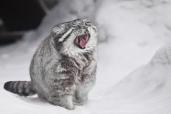 A but austere fluffy and angry wild cat manul threateningly puoses by opening its red mouth, white snow background, cool colors. A beautiful but austere fluffy royalty free stock photography