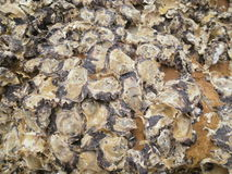 Austeren-Shells auf Felsen Lizenzfreies Stockbild