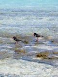 Austerenfangfederbleche Stockfotos
