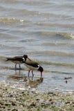 Austern-Fänger, der im Meer sucht Stockbilder