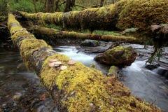 Austern-Pilze auf einem Klotz über einem Nebenfluss Stockbild
