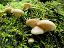 Austern-Pilze - Pleurotus ostreatus Stockbild