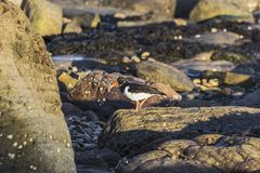 Austernfischer auf den Felsen, die für Lebensmittel reinigen lizenzfreies stockbild