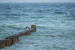 Austernfischer, die auf einem bune in der Ostsee stehen stockfotografie