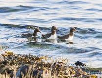 Austernfischerküken schwimmen in einer Insel von Skye-Loch Lizenzfreie Stockfotos