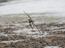 Austernfischervogel, der über Strand fliegt Lizenzfreie Stockfotografie