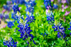 Austin bluebonnets op de heldere dag van de de lentetijd in centraal Texas royalty-vrije stock afbeelding