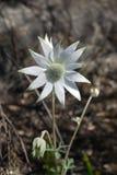 Austrália: flor branca nativa da flanela Fotografia de Stock Royalty Free