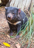 Austrália '15 - parque dos animais selvagens de Featherdale, diabo tasmaniano Fotos de Stock