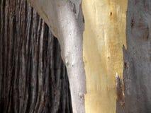 Austrália: textura da casca de árvores do eucalipto Foto de Stock Royalty Free
