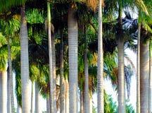 Austrália um bosque bonito de palmeiras altas fotografia de stock royalty free