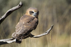 Austrália, zoologia Imagens de Stock Royalty Free