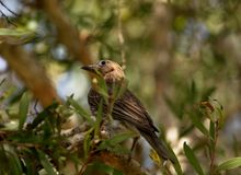 austraal-azië Figbird stock afbeeldingen