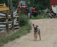 Austrailian bydła psi wyć na gospodarstwie rolnym Obrazy Stock