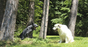Austrailian Cattle Dog Yelling at Great Pyrenees Stock Photography