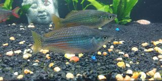 Austrailian Rainbowfish obraz stock