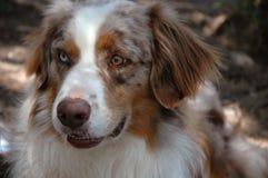Austrailian Schäferhund Stockfoto
