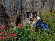 Austrailian Schäferhund in den Wildflowers lizenzfreie stockfotos
