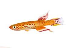 Austral Aquariumfische Australe-kap Lopez-Zahnkarpfen Aphyosemion Stockfotos