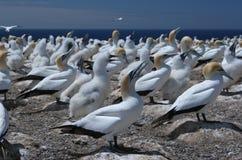Austral-Asian gannet Kolonie Lizenzfreies Stockfoto