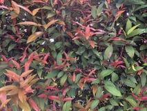 Austral australier Rose Apple, borstekörsbär, liten vik Lily Pilly, fiskkorg Satinash för färgrik ny syzygium arkivbilder