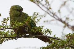 Austral Parakeet (Enicognathus ferrugineus). Eating the buds and blossom on trees along the Carretera Austral in the Aysen Region of southern Chile Royalty Free Stock Images