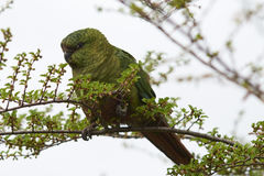 Austral Parakeet (Enicognathus ferrugineus). Eating the buds and blossom on trees along the Carretera Austral in the Aysen Region of southern Chile Royalty Free Stock Photography