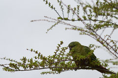 Austral Parakeet (Enicognathus ferrugineus). Eating the buds and blossom on trees along the Carretera Austral in the Aysen Region of southern Chile Royalty Free Stock Photos