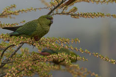 Austral Parakeet (Enicognathus ferrugineus). Eating the buds and blossom on trees along the Carretera Austral in the Aysen Region of southern Chile Stock Photo