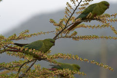 Austral Parakeet (Enicognathus ferrugineus). Eating the buds and blossom on trees along the Carretera Austral in the Aysen Region of southern Chile Stock Image