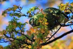 Austral Parakeet, Enicognathus Ferrugineus, on a tree near El Chalten, Argentina Royalty Free Stock Image