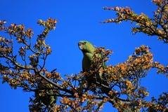 Austral Parakeet, Enicognathus Ferrugineus, on a tree near El Chalten, Argentina Royalty Free Stock Photos