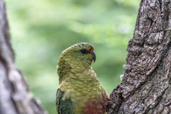 Austral parakeet in Torres del paine national park, Patagonia, C Royalty Free Stock Photo