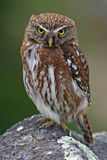 Austral pygmy owl, Patagonia, Argentina Stock Photography