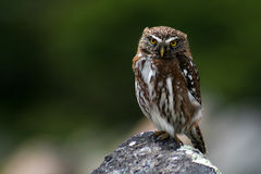 Austral pygmy owl, Patagonia, Argentina Royalty Free Stock Images