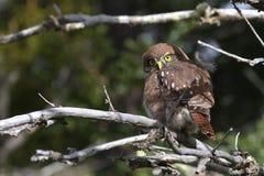 Austral Pygmy Owl Stock Photos