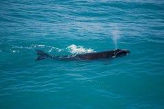 Austral sul liso do sul de Nullarbor da baleia direita Imagens de Stock