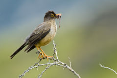 Austral Thrush and Worm Royalty Free Stock Photography