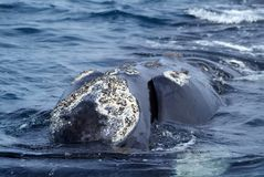 Austral whale Royalty Free Stock Images