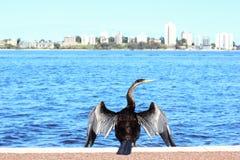 Australasian змеешейка суша свои крыла, реку лебедя, Перт Стоковое Изображение