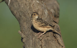 Australasian Bushlark. Mirafra javanica, perched on a tree trunk with brown background Royalty Free Stock Photography