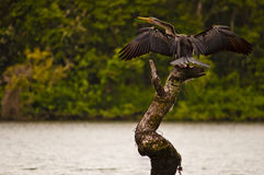 Australasian darter drying its wings Royalty Free Stock Photography
