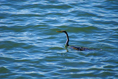 Australasian darter swimming Royalty Free Stock Images